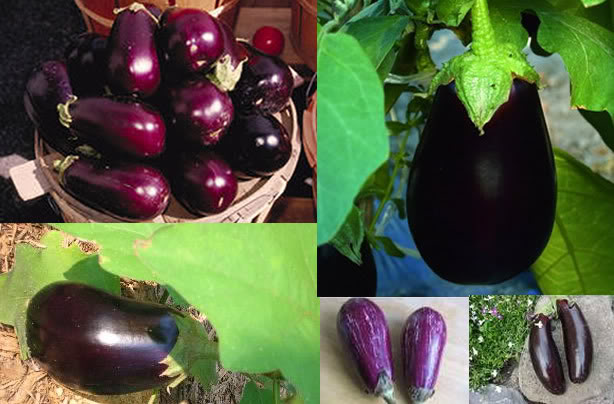 growing-aubergines-out